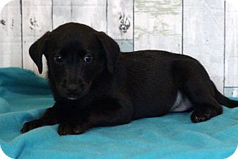 Labrador Retriever Mix Puppy for adoption in Waldorf, Maryland - Pistol
