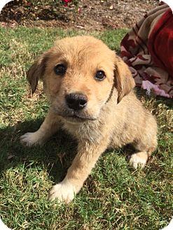 Siberian Husky/Labrador Retriever Mix Puppy for adoption in Roswell, Georgia - Bentley