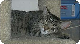 Domestic Shorthair Cat for adoption in Carlisle, Pennsylvania - Haze