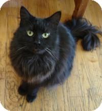 Domestic Mediumhair Cat for adoption in Los Angeles, California - Katie