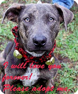 Catahoula Mix Shepherd Dog Breed http://www.adoptapet.com/pet/8208073-los-angeles-california-german-shepherd-dog-mix