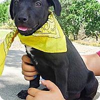 Adopt A Pet :: Chyenne big gal - Sacramento, CA