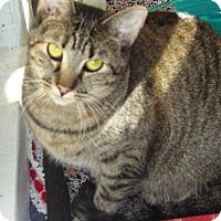 Domestic Shorthair Cat for adoption in Alden, Iowa - Mavis