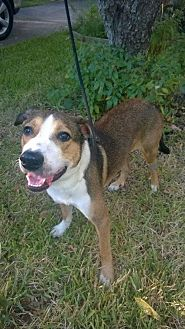 Collie/German Shepherd Dog Mix Dog for adoption in Houston, Texas - Chance 3