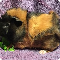Adopt A Pet :: Arthur (b) - Steger, IL