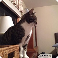 Adopt A Pet :: Moxey - Fort Collins, CO