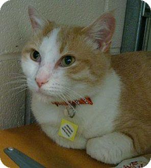 Domestic Shorthair Cat for adoption in Lakewood, Colorado - P.J.