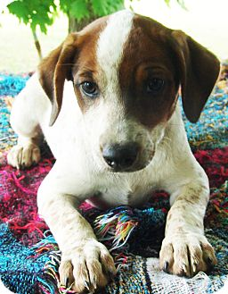 Beagle/Blue Heeler Mix Puppy for adoption in Hagerstown, Maryland - Jamie