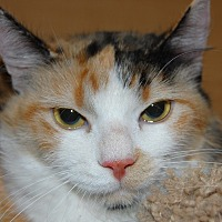 Calico Cat for adoption in Whittier, California - Goat