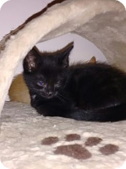 Domestic Shorthair Kitten for adoption in Cambridge, Ontario - Maleficent