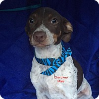 Adopt A Pet :: Cherokee in CT - Manchester, CT