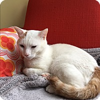 American Shorthair Cat for adoption in Brooklyn, New York - Roberto