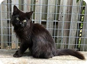 Domestic Mediumhair Cat for adoption in THORNHILL, Ontario - Rocco