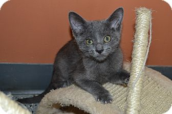 Domestic Shorthair Kitten for adoption in Michigan City, Indiana - Chelsea