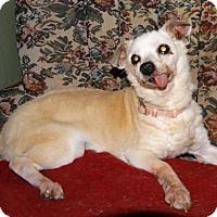 Chihuahua Mix Dog for adoption in Tacoma, Washington - Miracle