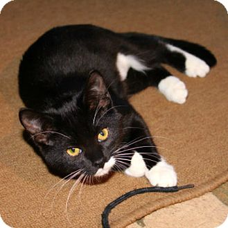Domestic Shorthair Cat for adoption in Edmonton, Alberta - Merlina Podersos
