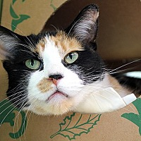 Domestic Shorthair Cat for adoption in Chicago, Illinois - Brindisi