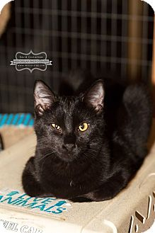 Domestic Shorthair Kitten for adoption in Monterey, Virginia - Jasper  $35 adoption special