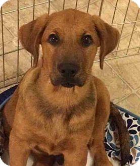 Bloodhound/Labrador Retriever Mix Puppy for adoption in Dayton, Ohio - Zoomer