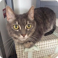 Domestic Shorthair Cat for adoption in Lancaster, California - Daisy