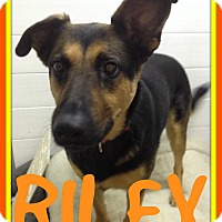 Adopt A Pet :: RILEY - White River Junction, VT
