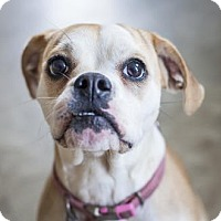 Adopt A Pet :: Lolita - Chicago, IL