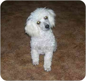 Toy Poodle Dog for adoption in Chandler, Indiana - Lance