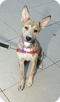 German Shepherd Dog Mix Dog for adoption in New York, New York - Bonnie