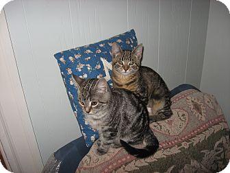 Domestic Shorthair Kitten for adoption in Portland, Maine - Aurora & Bridget