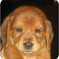 Adopt A Pet :: Kosher - Novi, MI