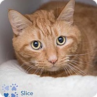 Adopt A Pet :: Slice - Merrifield, VA