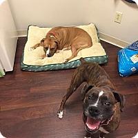 Adopt A Pet :: Kiya - Dearborn, MI