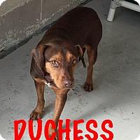 Adopt A Pet :: Duchess - Waycross, GA