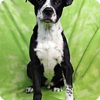 Adopt A Pet :: Steven - Westminster, CO