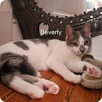 Adopt A Pet :: Beverly - Washington, DC