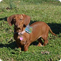 Adopt A Pet :: Munchkin - Westport, CT