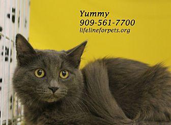 Domestic Mediumhair Cat for adoption in Monrovia, California - A Young Female: YUMMY