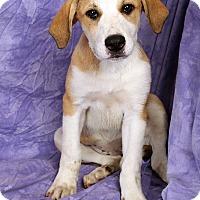 Adopt A Pet :: Nina - St. Louis, MO