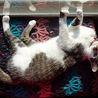 Domestic Shorthair Cat for adoption in Parkton, North Carolina - Twinkles