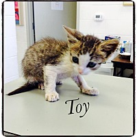 Domestic Shorthair Kitten for adoption in Dillon, South Carolina - Toy