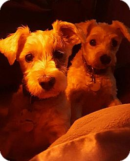 Standard Schnauzer Dog for adoption in Colorado Springs, Colorado - Joy and Sophie