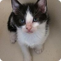 Adopt A Pet :: White & Black male kitten PPB - Manasquan, NJ