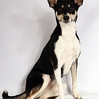 Adopt A Pet :: Skyler Girl TerrierMix - St. Louis, MO