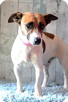 Jack Russell Terrier Mix Dog for adoption in Waldorf, Maryland - Vanita