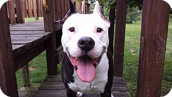 American Staffordshire Terrier Mix Dog for adoption in Morgantown, Indiana - JOURNEY-adopted!