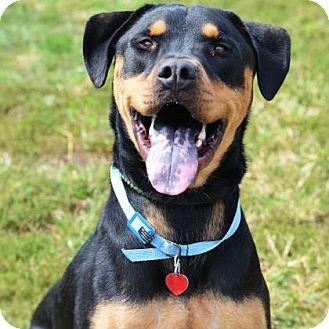 Rottweiler/Terrier (Unknown Type, Medium) Mix Dog for adoption in Philadelphia, Pennsylvania - Buster
