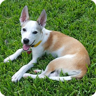 Basenji Mix Dog for adoption in Tomball, Texas - Ginny