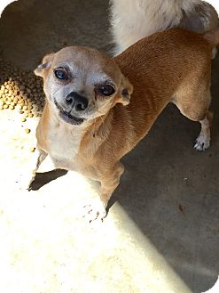 Chihuahua Dog for adoption in Blanchard, Oklahoma - Jana
