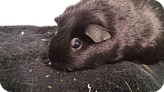 Guinea Pig for adoption in Aurora, Colorado - Thunder, Rainy, Stormy