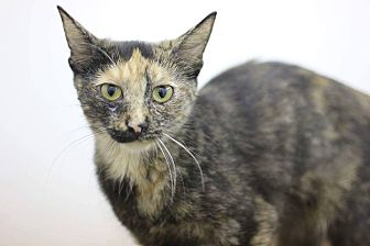 Domestic Shorthair Cat for adoption in Phoenix, Arizona - Ferrari